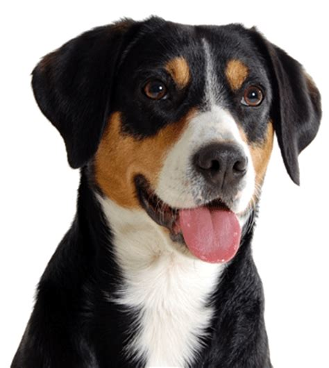 entlebucher sennenhond rasbeschrijving kennel van de