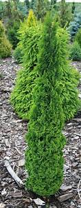Thuja Baum Spitze Schneiden : die besten 25 thuja pflanze ideen auf pinterest thuja landschaftsbau japanischer buchsbaum ~ Pilothousefishingboats.com Haus und Dekorationen