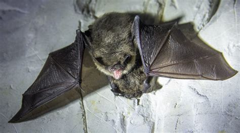 common mating rituals  male microchiroptera bats blog