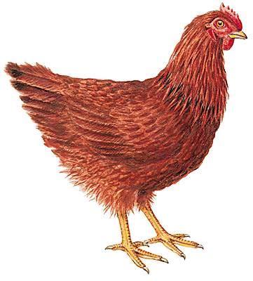 cuisine au wok poulet encyclopédie larousse en ligne poule rhode island