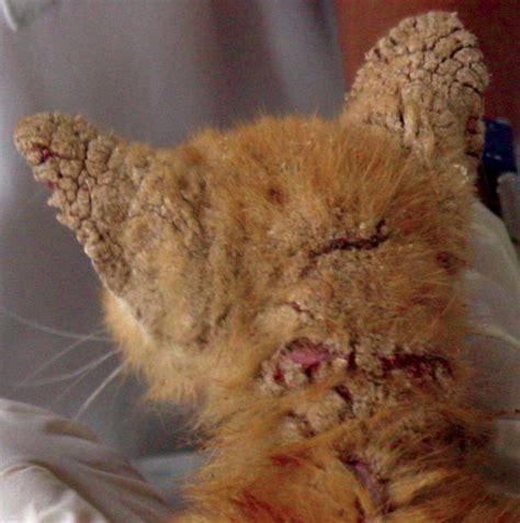 bite   feline mites todays veterinary nurse