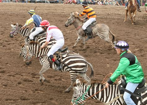 Zebra Racing Pictures To Pin On Pinterest Pinsdaddy