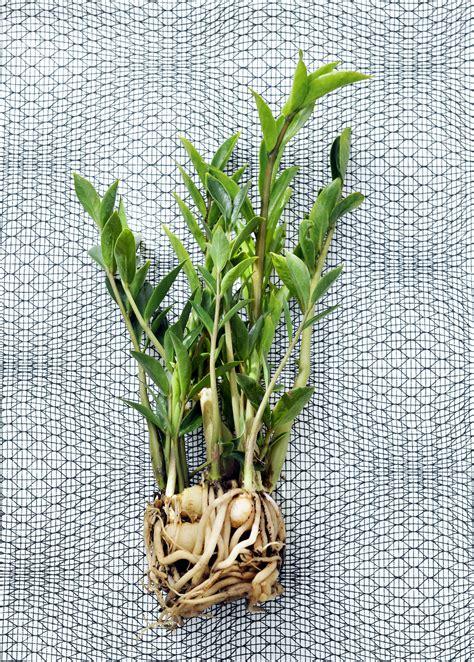 Zimmerpflanzen Portraet Schraubenbaum by Zimmerpflanzen Portr 228 T Zamioculcas Zamiifolia