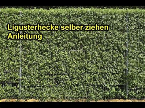 liguster stecklinge ziehen ligusterhecke selber ziehen liguster druch stecklinge vermehren pflanzen anleitung