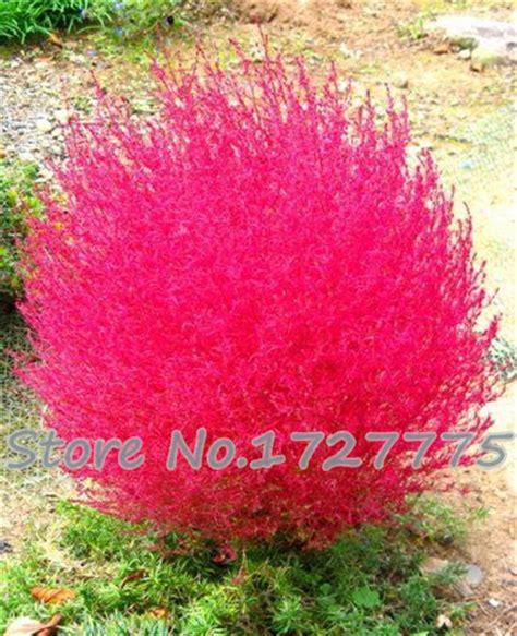 grass burning bush grass seeds perennial 200pcs grass burning bush kochia scoparia seeds red garden ornamental easy