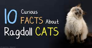 sign someone up for cat facts 10 ragdoll cat facts steemit