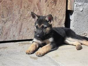 Black and Brown German Shepherd Puppy | German Shepherds 2 ...