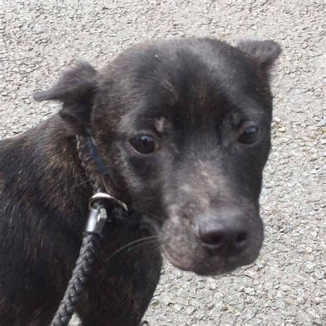 Adopt Tucker North Wales  Uk Rescue Dogs