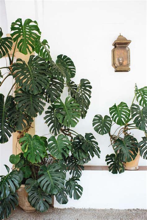 elephant plants 25 best ideas about elephant ear plant on pinterest elephant plant alocasia plant and palm