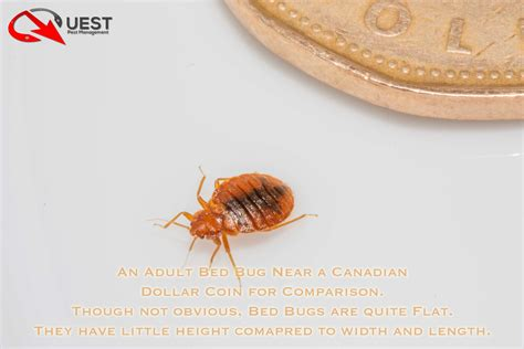 bed bugs flat what do bed bugs look like see it in pictures pest
