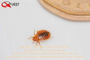 what does a bedbug look like wwwimgkidcom the image With what to look for in a mattress