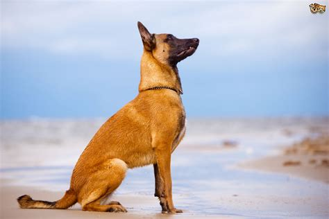health issues more commonly seen in the belgian shepherd