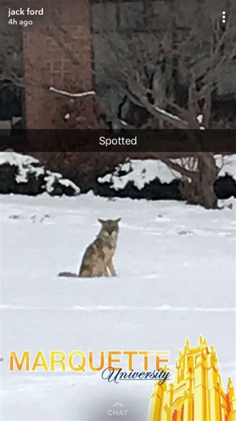 Coyote Wanders Onto Campus  Marquette Wire