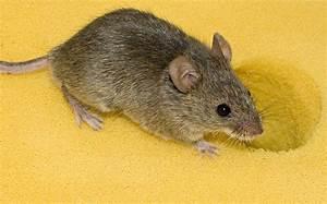 Unterschied Maus Ratte : hausmaus wikipedia ~ Lizthompson.info Haus und Dekorationen