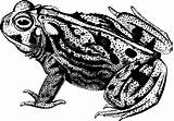 Toad Plains Drawing Coloring Clipart Svg Frog Animal Blanco Common Amphibian Negro Ranas Designlooter Malt Einen Wie Frogs Magazin Drawings sketch template