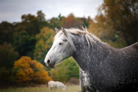 horse breeds horses draft child ponies riding safety percheron gentle choices