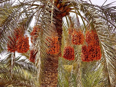 Exotic Fruit Trees: Date Palm - Special Price Now