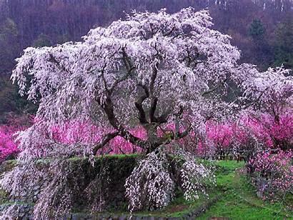 Cherry Tree Desktop Wallpapers Backgrounds Background Cherries