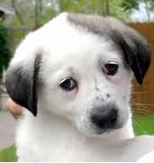 sad puppy eyes gif  Sad Puppy