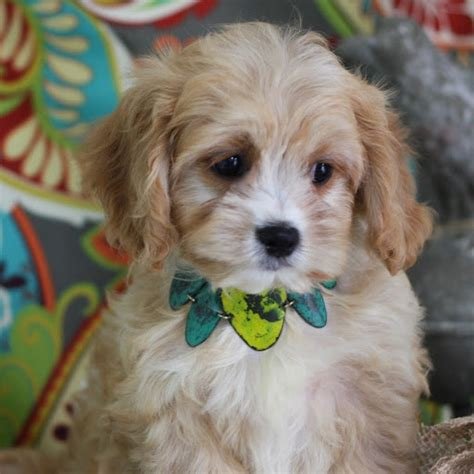 cavachon puppies www pixshark images galleries with a bite