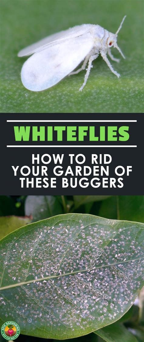 Best 25+ Whitefly Ideas On Pinterest  Insecticide For