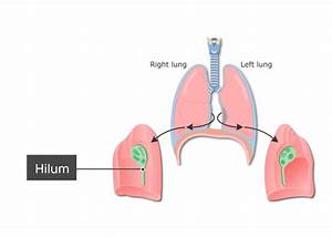 Diagram  Diagram Of The Hilum Full Version Hd Quality The