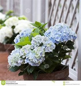 Hortensie Im Topf : blaue hortensie im topf stockbild bild von gazebo footpath 59689045 ~ Eleganceandgraceweddings.com Haus und Dekorationen