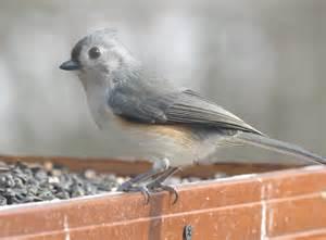 Titmouse Tufted Ohio Birds