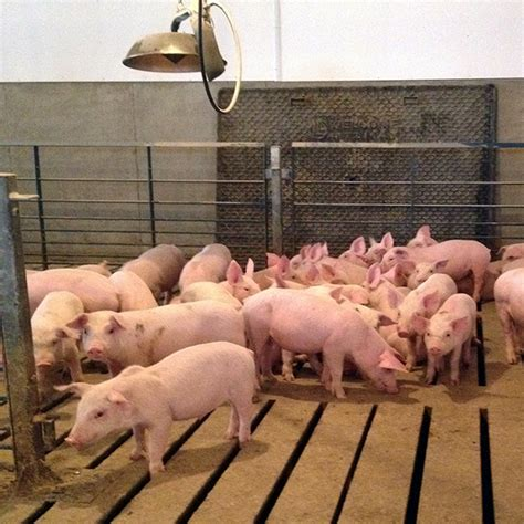 heat ls for pigs gro master inc baby it s cold outside