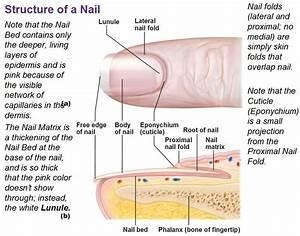 Integumentary System Nail Diagram Blank