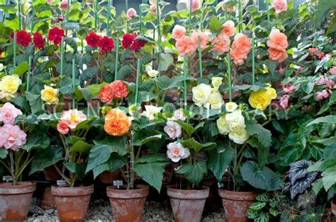 begonias in pots stock image c003 3078 science photo library