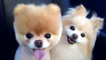 Boo Dog Breed 4k Wallpapers Animals Laptop