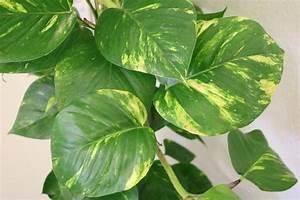 Pflanze Mit Fleischigen Blättern : h ngepflanzen f rs zimmer 22 h ngende zimmerpflanzen vorgestellt ~ Buech-reservation.com Haus und Dekorationen