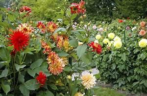 Quand Planter Des Dahlias : dahlia planter et cultiver ooreka ~ Nature-et-papiers.com Idées de Décoration