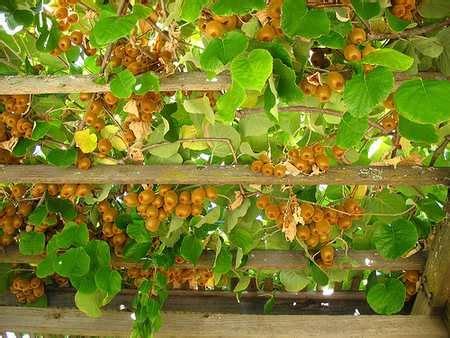 10 piante ricanti adatte al pergolato greenme
