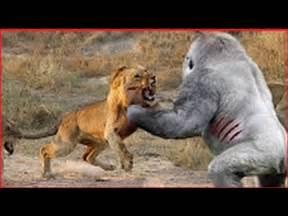 Animal Fights Lion vs Buffalo
