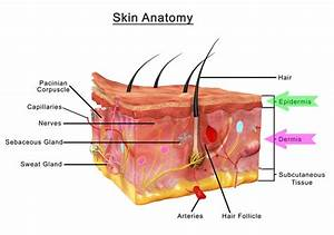 Skin Diagram With Highlight