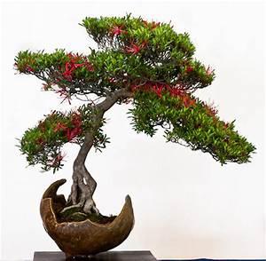 Außergewöhnliche Pflanzen Wohnung : azaleen als bonsai ~ Sanjose-hotels-ca.com Haus und Dekorationen