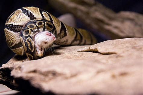 ball python eats mouse 4 flickr photo sharing