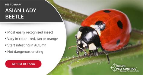 asian lady beetle identification lady bug facts