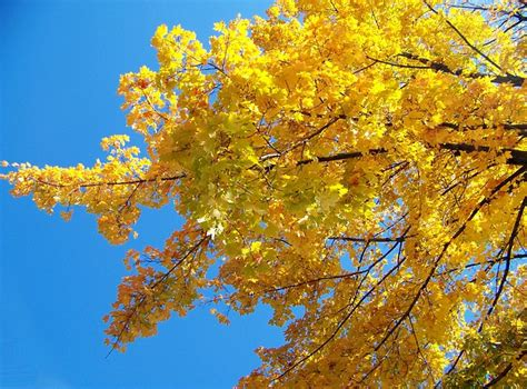 tree with yellow leaves in fall yellow maple tree leaves autumn fall branches public domain pictures free pictures