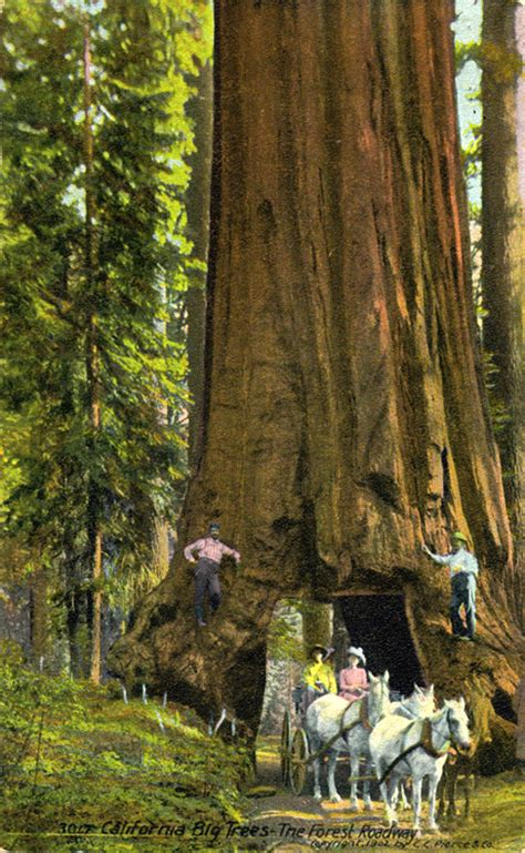pictures   day giant redwood trees