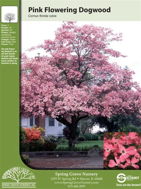 flowering dogwood tree facts pink flowering dogwood garden backyard pinterest