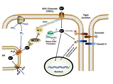 Myosin Light Chain Kinase by Myosin Light Chain Kinase Mlck Dependent Endothelial