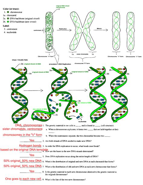 dna replication worksheet free dna replication coloring pages