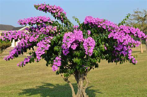 bougainvillea colors pictures pink color flowers bougainvillea