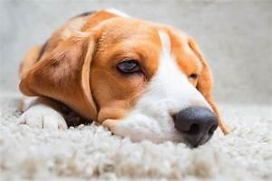 Hund Würmer Hausmittel : bl hungen beim hund 4 hausmittel und 6 tipps ~ Frokenaadalensverden.com Haus und Dekorationen