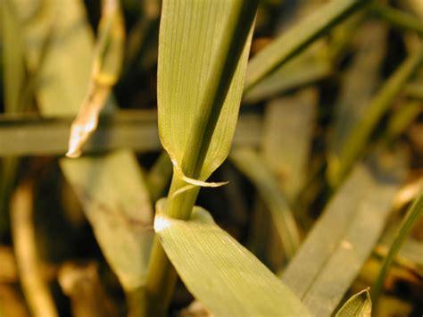 quackgrass p elytrigia repens family poaceae grass