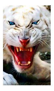 Fierce White Tiger Wallpaper 728 - Wallpaper - HD Wallpaper