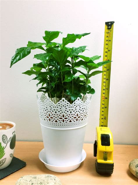 When growing coffee plants, the soil needs to stay moist, but not soaking wet. 1 Arabica Coffee Plant Tree in Pot Indoor house Garden ...